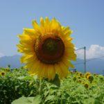 ひまわり畑で汗だくになるほど、今年の夏は暑い!