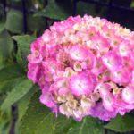 梅雨の花といえば紫陽花。