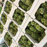 葡萄の美味しい季節がきました!